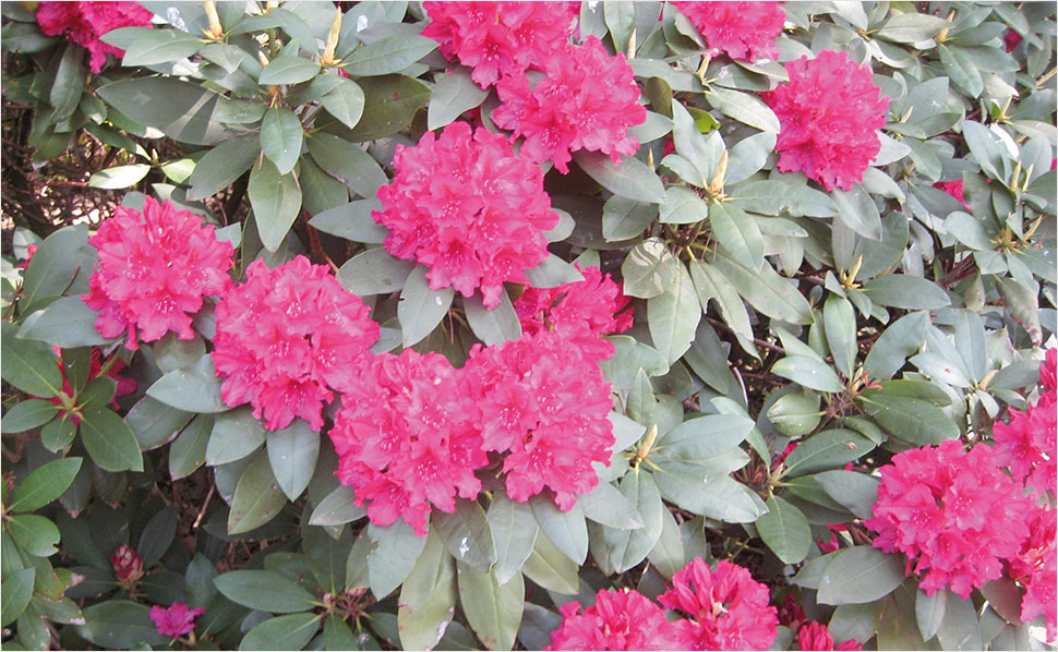 Rhododendron Inkarho