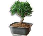 Bonsai pflegen