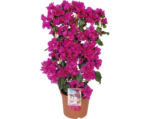 drillingsblume bougainvillea sanderare h 100 cm 23 cm topf bei hornbach kaufen. Black Bedroom Furniture Sets. Home Design Ideas