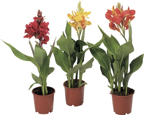 indisches blumenrohr canna indica 12 cm topf bei. Black Bedroom Furniture Sets. Home Design Ideas