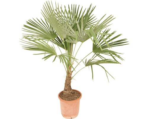 hanfpalme floraself trachycarpus fortunei h 140 160 cm bei hornbach kaufen. Black Bedroom Furniture Sets. Home Design Ideas