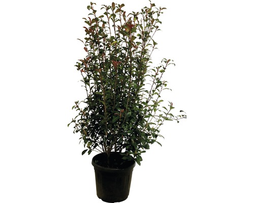 glanzmispel floraself photinia fraseri 39 robusta compacta 39 co 30 l bei hornbach kaufen. Black Bedroom Furniture Sets. Home Design Ideas