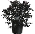 Riemenblüte FloraSelf Loroletalum chinensis 'Black Pearl' Co 30 L