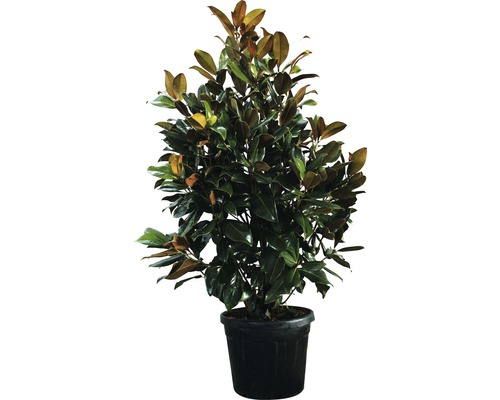 immergr ne magnolie floraself magnolia grandiflora 39 galissoniere 39 h 200 230 cm co 70 l bei. Black Bedroom Furniture Sets. Home Design Ideas
