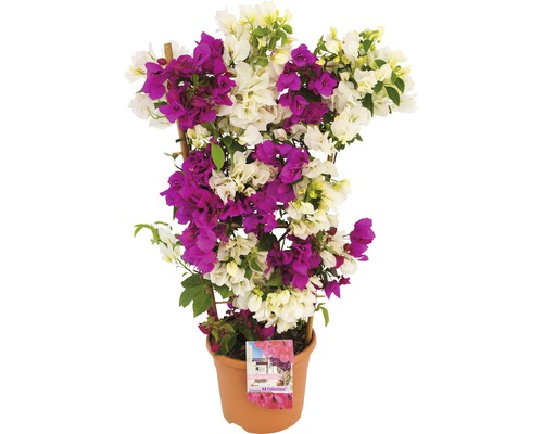 drillingsblume bougainvillea sanderare 21 cm topf bei hornbach kaufen. Black Bedroom Furniture Sets. Home Design Ideas