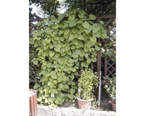 pfeifenwinde aristolochia macrophylla 100 125 cm co bei hornbach kaufen. Black Bedroom Furniture Sets. Home Design Ideas