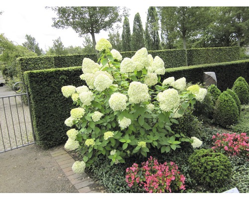 rispenhortensie hydrangea paniculata 39 limelight 39 60 100. Black Bedroom Furniture Sets. Home Design Ideas