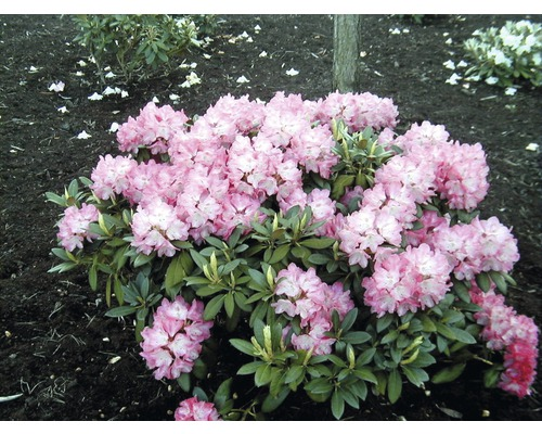 alpenrose rhododendron yakushimanum 39 silberwolke 39 30 40 cm. Black Bedroom Furniture Sets. Home Design Ideas