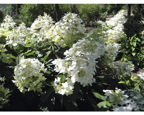 rispenhortensie hydrangea paniculata 39 unique 39 h 40 60 cm 2 stk bei hornbach kaufen. Black Bedroom Furniture Sets. Home Design Ideas