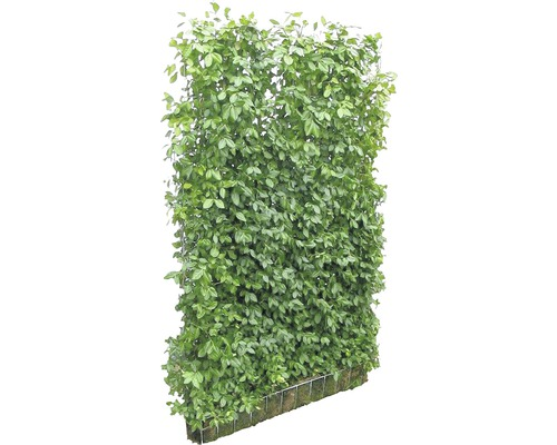 sichtzschut hecke helix spindelstrauch euonymus fortunei 39 coloratus 39 120x180 cm bei hornbach kaufen. Black Bedroom Furniture Sets. Home Design Ideas
