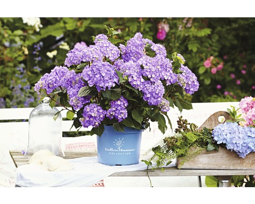 bauernhortensie floraself hydrangea macrophylla 39 bloomstar. Black Bedroom Furniture Sets. Home Design Ideas