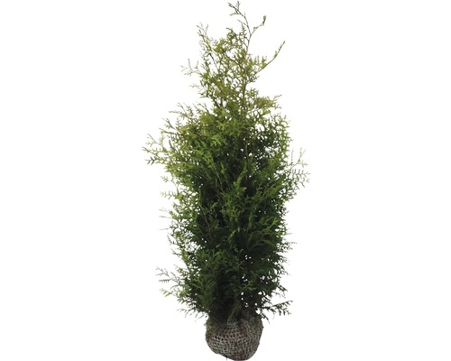 lebensbaum floraself thuja occidentalis 39 brabant 39 175 200 cm mit ballen bei hornbach kaufen. Black Bedroom Furniture Sets. Home Design Ideas