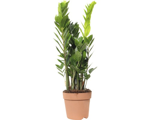gl cksfeder floraself zamioculcas zamiifolia 17er topf bei hornbach kaufen. Black Bedroom Furniture Sets. Home Design Ideas