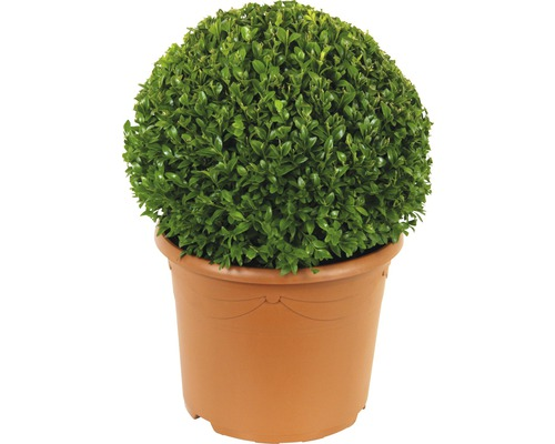 buchsbaum kugel floraself buxus sempervirens 28 30 cm co bei hornbach kaufen. Black Bedroom Furniture Sets. Home Design Ideas